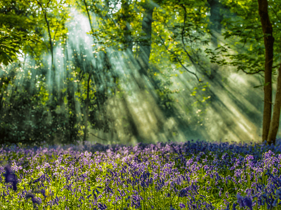 Luxury Fine Photography - Blue Bell Rays by Photographer Adrian Houston